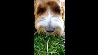 Cute 🐕 eats a Stick