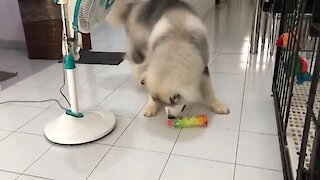 Adorable teddy dog loves to play with plastic bottle
