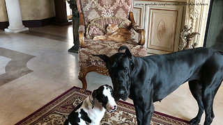 Pair of Great Danes pose for picture