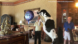 Great Dane can't stop playing with 'happy birthday' balloon