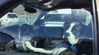 Impatient dog honks for attention
