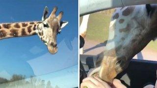 Greedy Giraffe Snatches Full Box Of Snacks From Inside Visitor's Car