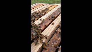 New Queen Honey Bee