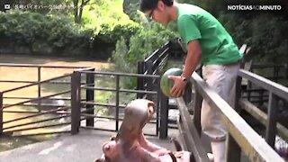Hipopótamo devora uma melancia inteira