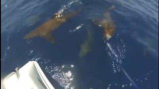 Fiskere i Australia møter en stim med haier