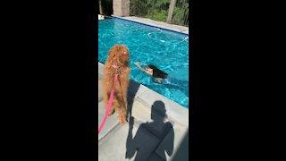 Golden doodle watches mermaid in pool.