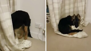 Puppy nearly destroys curtains trying to snuggle them