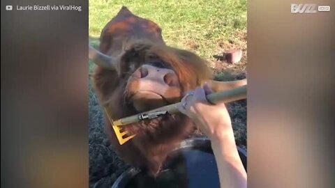 Touro adora que lhe cocem o pelo com ancinho