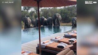 Une famille d'éléphants se désaltère dans une piscine