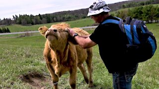 Cow with itchy face seeks help from her human friend