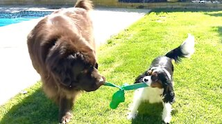 Mismatched pups playing tug-of-war will brighten your day
