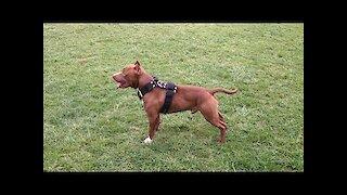 American Pit Bull Terrier Diesel