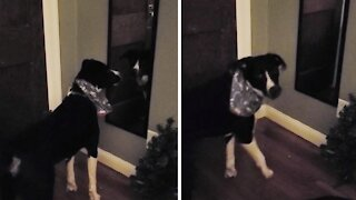 Puppy meets his reflection in the mirror, hilarity ensues