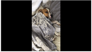 Lazy dog snuggles in bed just like a human!