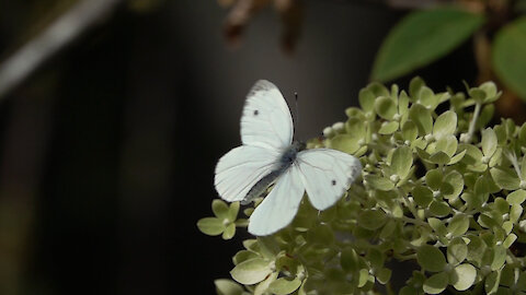 Elegant moving Cabbage White Butterfly in epic slow motion