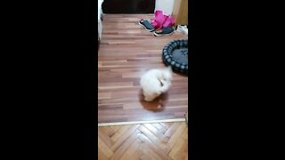 Bichon frise puppy tail run