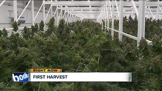 Budding business: Eastlake's medical marijuana plant preps for harvest