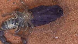 Time-lapse: scorpion discards exoskeleton