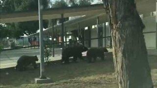 Bjørnefamilie går til skolen