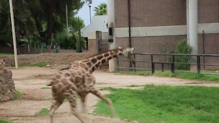 PLAYING IN THE RAIN: Reid Park Zoo giraffes have a wet romp