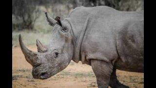 Turistas apanham gigante susto com rinoceronte