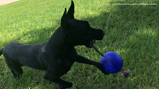 Great Dane Shows Off Jolly Ball Tricks To Puppy