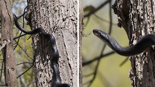 Seven foot Eastern Ratsnake climbs straight up a tree