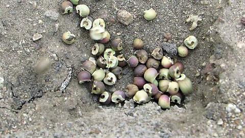 African jumping beans