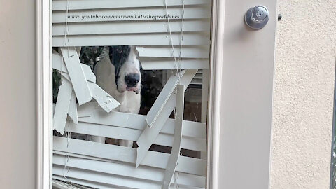 """Great Dane looks out from his """"customized"""" door blinds"""