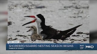 Shorebird nesting season begins
