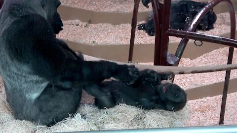 Gorilla baby and mother share adorably loving moments together