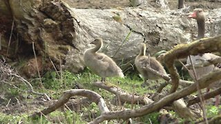 Little ducks adorably learn to catch insects