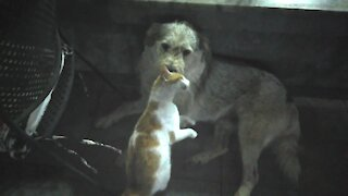 Overly-affectionate cat corners dog to give him cuddles