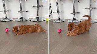 Puppy plays with his new toy in the cutest possible way