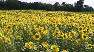 Wadsworth man's labor of love is now 'Medina Sunflower Farm' and open to the public