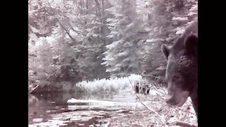 Mother bear and cubs explore around beaver pond