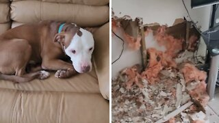 Dog suffering from separation anxiety totally destroys home