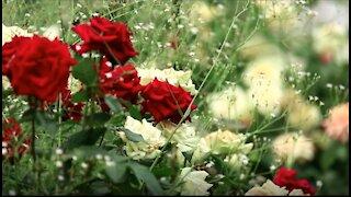 Roses bouquet closeup