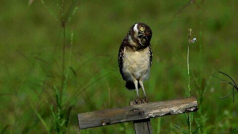 Baby Owl Loves Head Bobbing