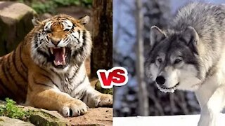 Aggressive Dog attack on Tiger