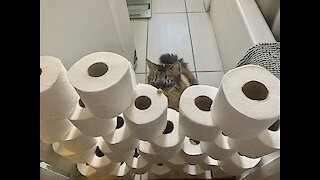 Watch this Maine Coon take on the toilet paper challenge