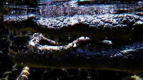 Wild crocodile bares menacing teeth at scuba diver who gets too close