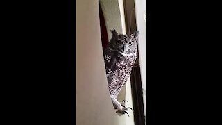 Amazing pet owl sings along with its owner