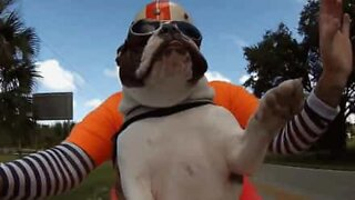 Sweets, the bulldog biker!
