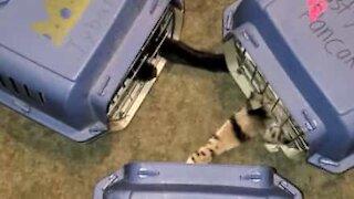 Trois chats vont chez le véto…