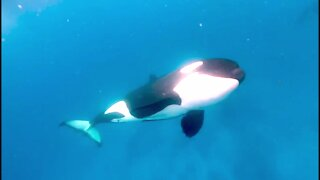 Diver jumps in the water with pod of hunting orcas