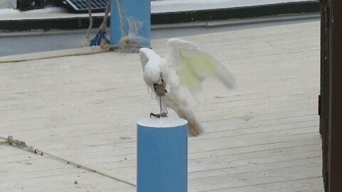 Corella Bird Tries To Destroy Post!