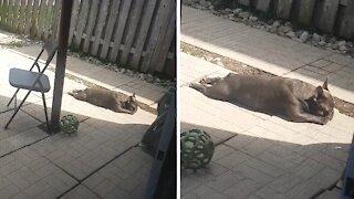 French Bulldog caught getting his tan on