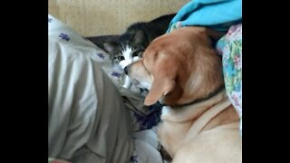 Cat sits on a dog under a blanket