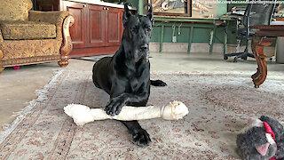 Noisy Great Dane Loves To Gnaw On Her Jumbo Bone